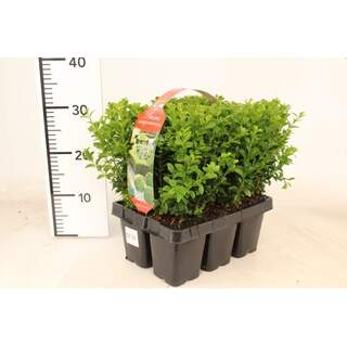 Buxus sempervirens 6 pack XL