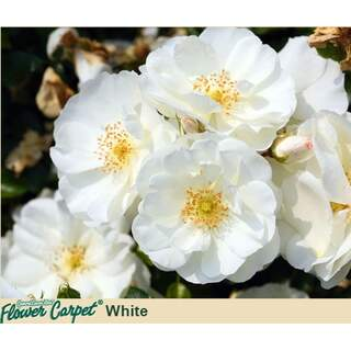 Flower Carpet White Rosa