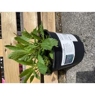 Verbena bonariensis 3 L