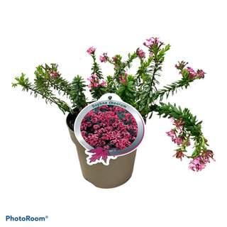 Daphne cneorum 2L