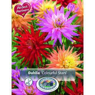 Dahlia Colourful Stars 3