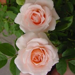 Rosa Lovely Bride