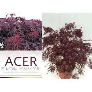 Acer pal Inaba-shidare