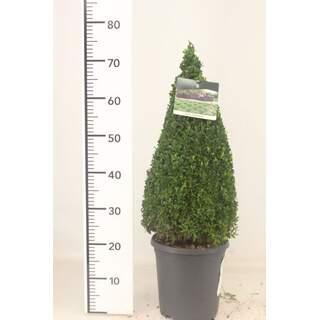 Buxus sempervirens 50-60cm Pyr