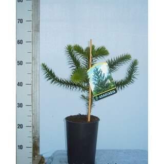 Araucaria imbricata 30-40cm