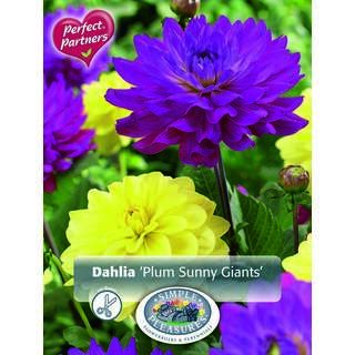 Dahlia Plum Sunny Giants