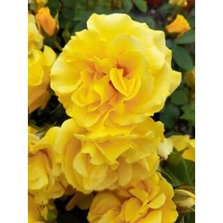 Rosa Precious Gold