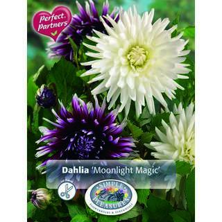 Dahlia Moonlight Magic