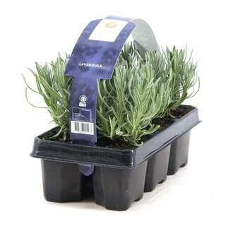 Lavandula angustifolia 6 pack
