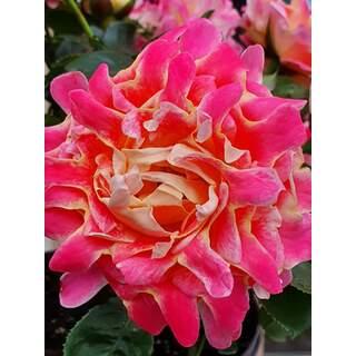 Rosa Pink Lady Ruffles