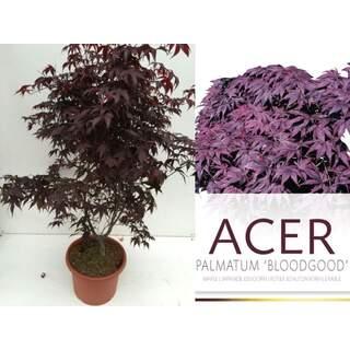 Acer pal Bloodgood 80-100 CM