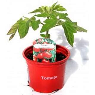 Tomato Gardeners Delight 9cm
