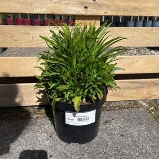 Campanula persicifolia alba 3L