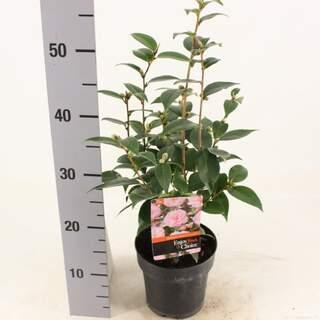 Camellia jap Spring Festival 1.5 Ltr pot