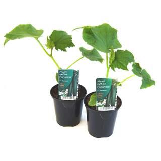 Cucumber Plant 9cm