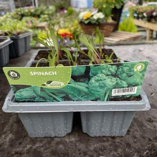 Spinach Perpetual 6 pack