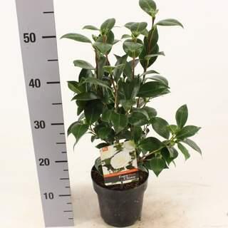 Camellia j Dahlonega 1.5 Ltr pot