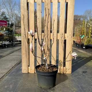 Magnolia st Royal Star