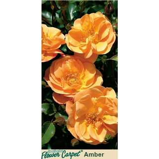 Flower Carpet Amber Rosa