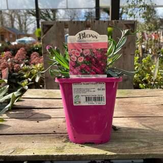 Dianthus SuperTrouper Marie