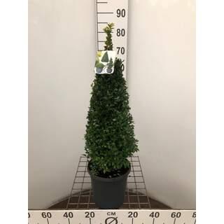 Buxus sempervirens 50-60 CM PYR