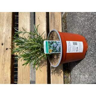 Rosemary officinalis 3 L