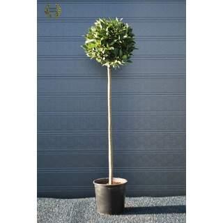 Laurus nobilis 160cm total 40cm head