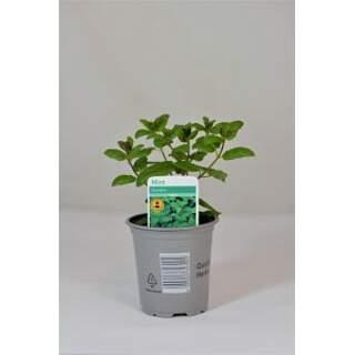 Garden Mint 9cm