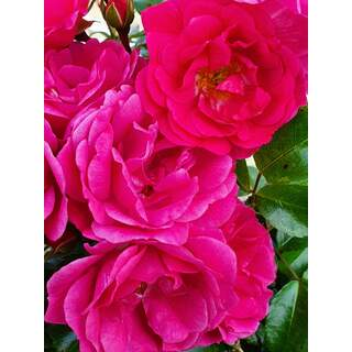 Flower Carpet Pink Rosa