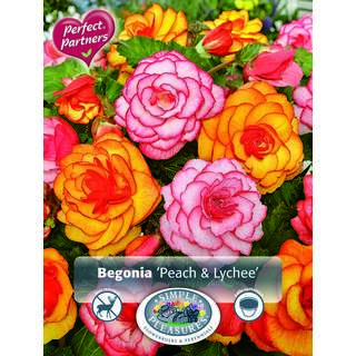 Begonia Peach and Lychee 4