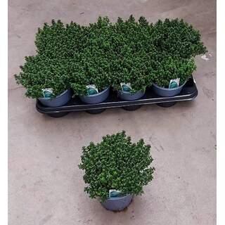 Thymus faustini Thyme