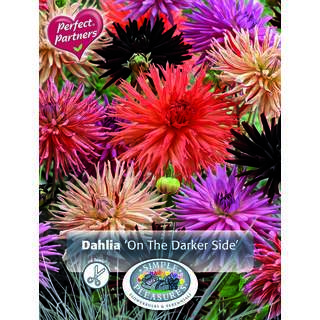Dahlia On the Darker Side Mixed