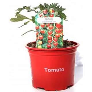 Tomato Supersweet 9cm