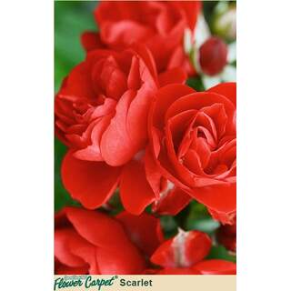 Flower Carpet Scarlet Rosa