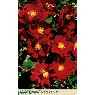 Flower Carpet Red Velvet Rosa
