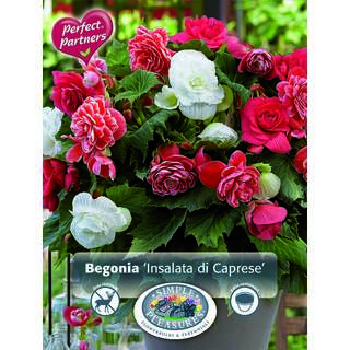 Begonia Insalata di Caprese