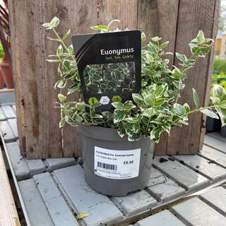 Euonymus For Emerald Gaiety 1.5L