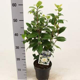 Camellia j Brushfields Yellow 1.5 Ltr pot