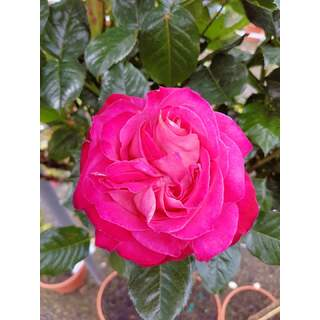 Rosa Corfu