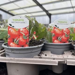 Tomato Red Profusion 9cm