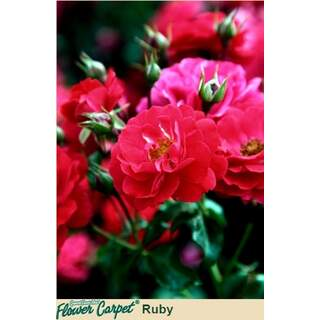 Flower Carpet Ruby Rosa