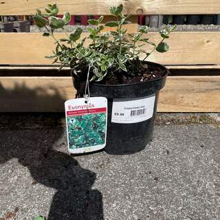 Euonymus Emerald n Gaiety 3L