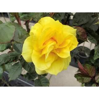 Rosa Korresia