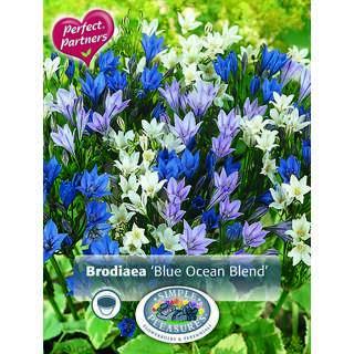 Brodiaea Blue Ocean Blend
