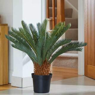 Sago Palm 68 cm