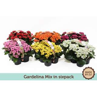 Kalanchoe Gardenlina mix 6 pack