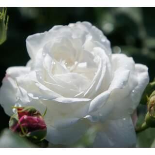 Rosa White Diamond