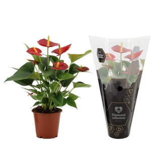 Anthurium and Diamond Red