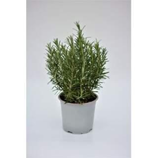 Italian Herb Rosemary 1.2L