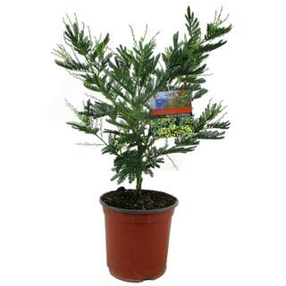 Acacia (Mimosa) dealbata